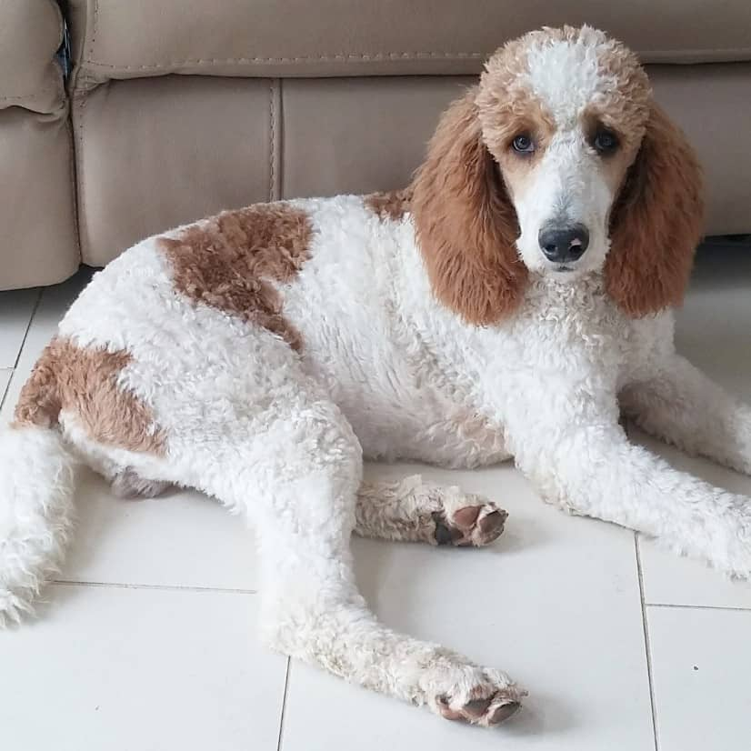 Red and white standard poodle