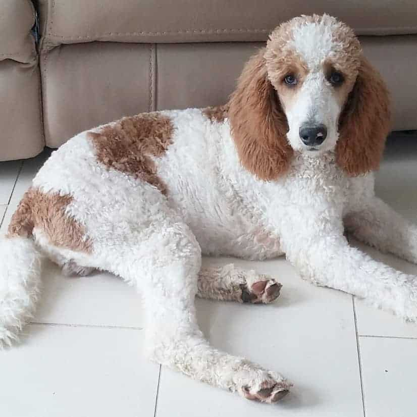 Red and white poodle