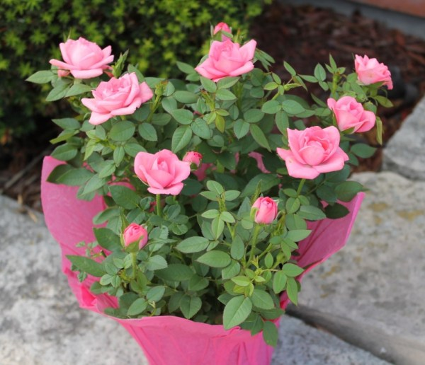 Mini Roses Willyfresh Plants