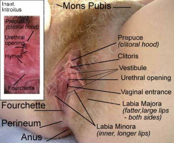 Vulva Image - Labelled for WillyWorries.com Vulva Gallery - showing the location of: the mons pubis; prepuce (clitoral hood), clitoris, vestibule, urethral opening, vaginal entrance (introitus), labia majora, labia minora, fourchette, perineum and anus - insert also shows the location of the hymen and a clear view of the fourchette - this area sometimes tears during sexual intercourse but heals well.
