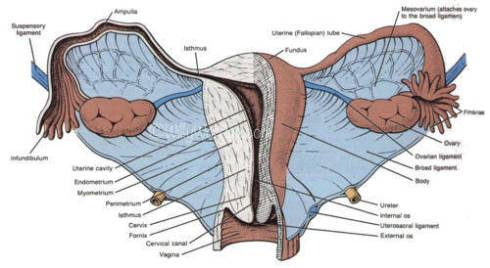 Anatomy-Female-Picture-used-courtesy-of-SSGT-Tony-Gray