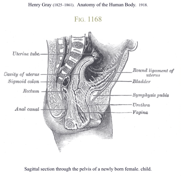 Female Reproductive Anatomy and Physiology - WillyWorries.com