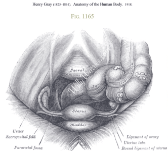 Peritoneal Cavity showing the sacrum, large colon, rectum, uterus, bladder and fallopian tube locations, ligaments of the ovaries, and ureters or urine tubes