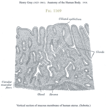 Picture showing vertical section of mucous membrane of human uterus