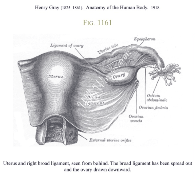 Uterus right broad ligament, ovary picture, Grays Anatomy-1918