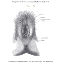Vulva-vagina-picture-medical-illustration-clitoris-vestibule-labia-anus-perineum