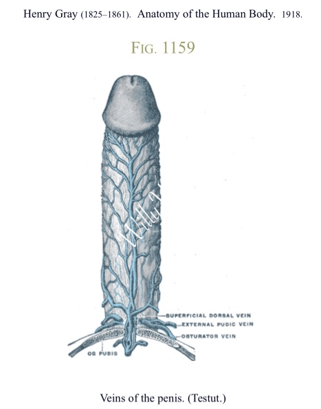 Picture of Veins Of The Penis - Grays Anatomy-1918