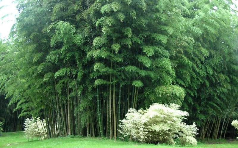 Tall Bamboo Plants Sale