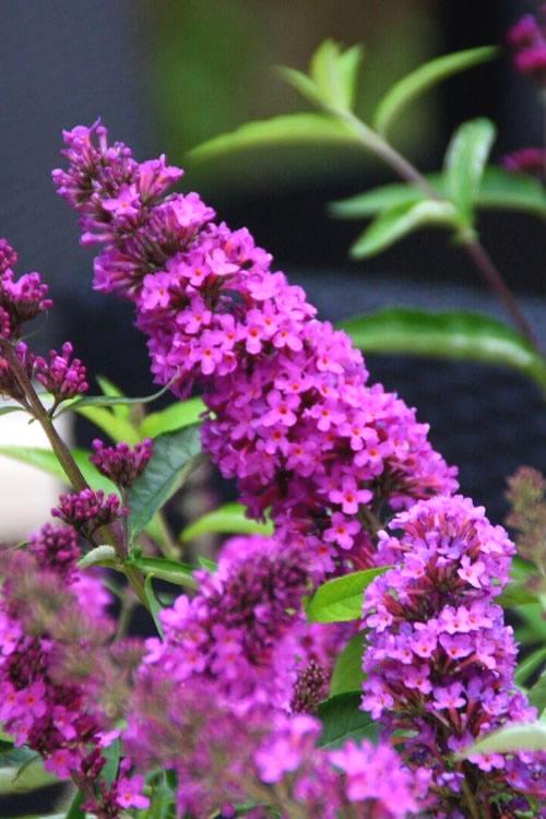 Buy Flutterby Petite Tutti Fruitti Dwarf Butterfly Bush For Sale Online From Wilson Bros Gardens