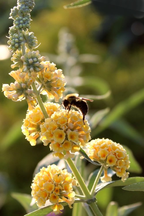 Buy Honeycomb Yellow Butterfly Bush For Sale Online From Wilson Bros Gardens