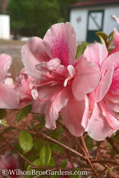 Buy Autumn Belle Encore Azalea For Sale Online From Wilson Bros Gardens