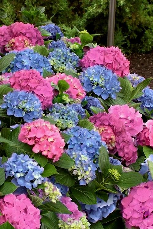 Buy LA Dreamin Hydrangea For Sale Online From Wilson Bros Gardens