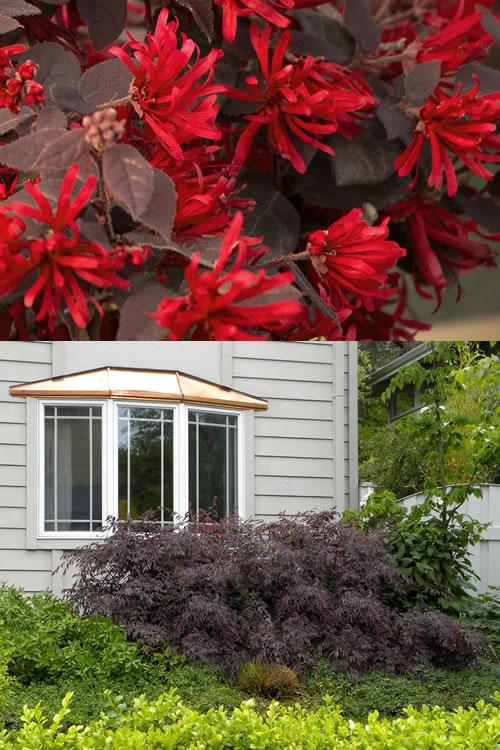 Buy Ever Red Loropetalum Shrubs For Sale Online From Wilson Bros Gardens