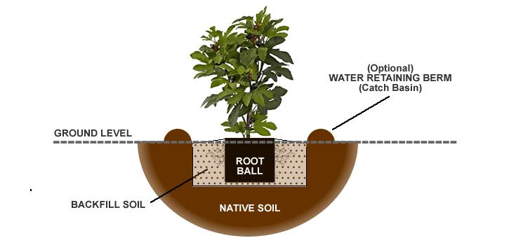 Brown Turkey Fig Tree Information