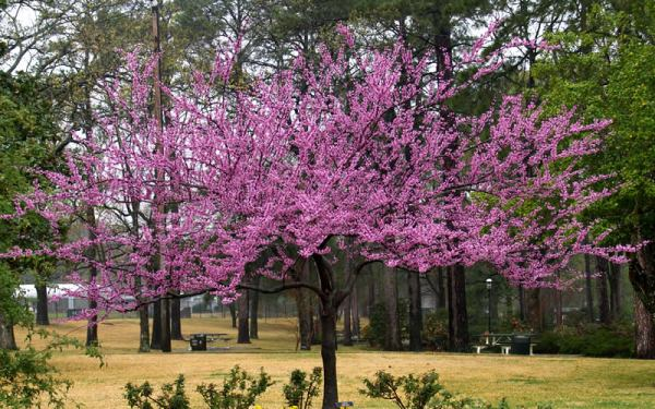 Buy The Rising Sun Redbud Tree For Sale Online From Wilson ...