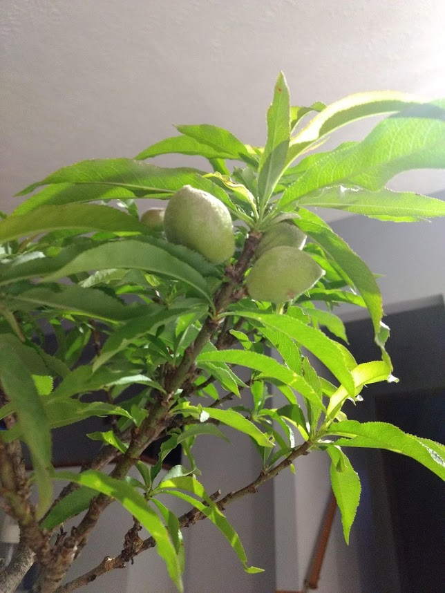 buy bonanza dwarf patio peach tree