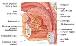 piercing na língua fotos anatomia dental