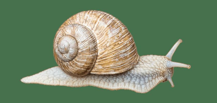 illustration-escargot