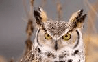 Amherst Island is a favoured spot for owls, and other birds