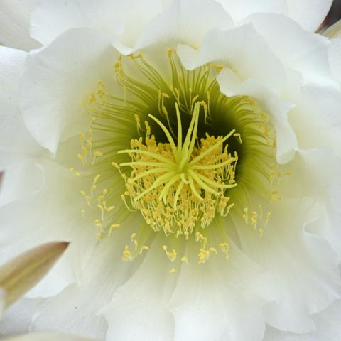flower cactus