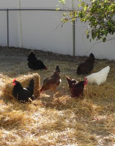 Hay and chickens