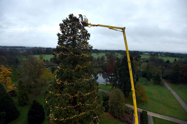 a-worker-on-a-cherry-picker-inspects-the-uks-tallest-living-christmas-tree-1