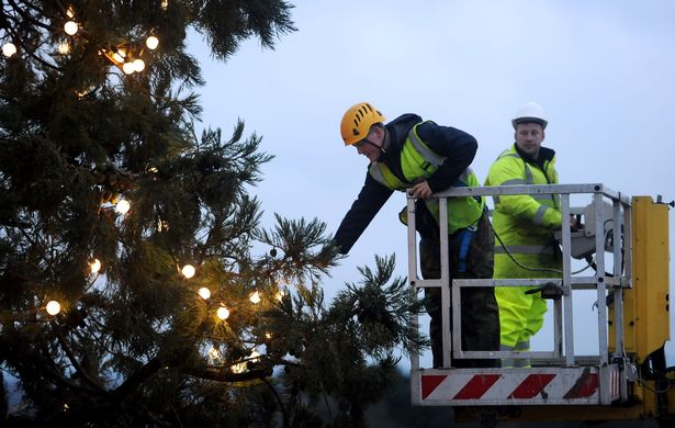 a-worker-on-a-cherry-picker-inspects-the-uks-tallest-living-christmas-tree