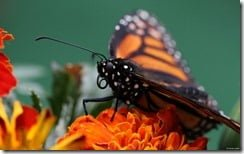 Monarch butterfly, close-up