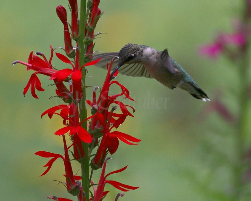 Ruby Throated Hummingbird On Cardinal Flower Window To