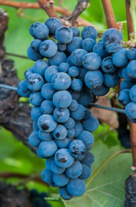 Pinot Noir Grapes (Edgar Solis)