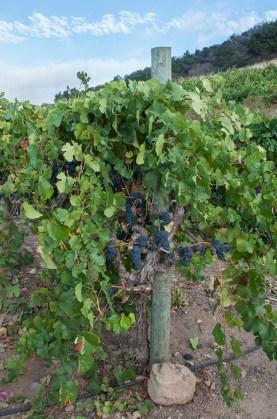 Pinot Noir Vine (Edgar Solis)