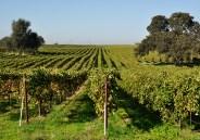 Bokisch Vineyard