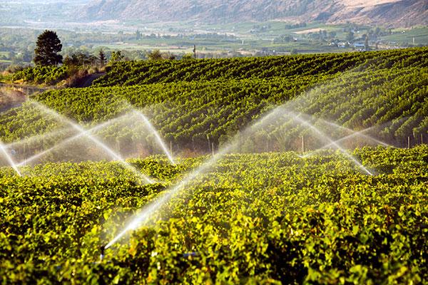 A importância da água no cultivo das videiras