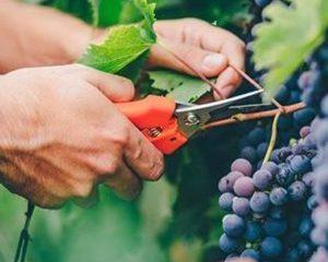 grapes-wine-harvesting