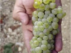 A toast to darling-grape Chardonnay