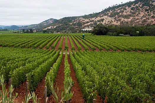 August morning could be foggy in the Napa Valley and Sonoma
