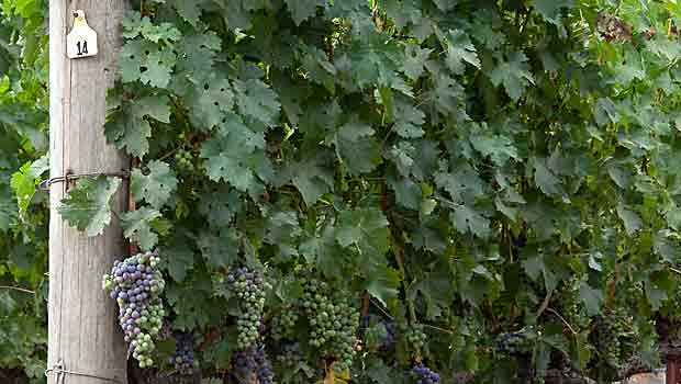 State of cabernet in the napa valley