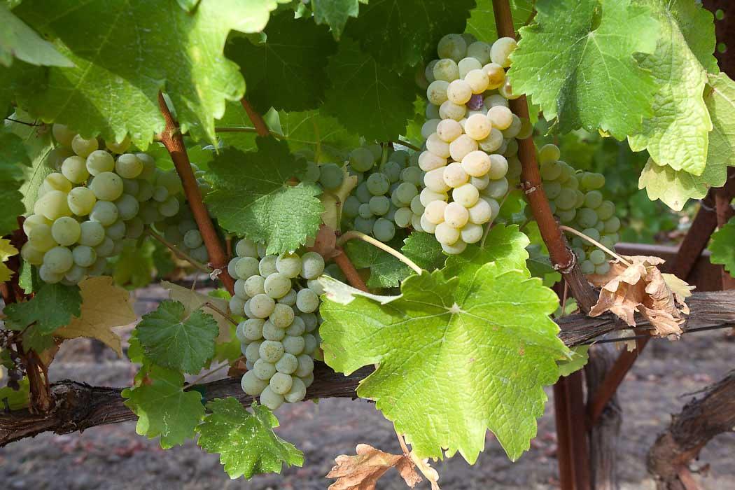 grape-clusters