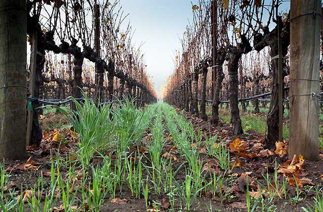 Cover crops vineyards