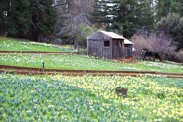 Daffodil Hill near Sutter Creek