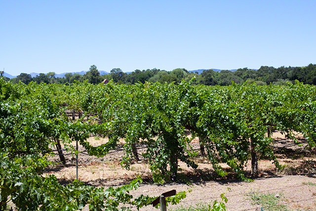 White house vineyard