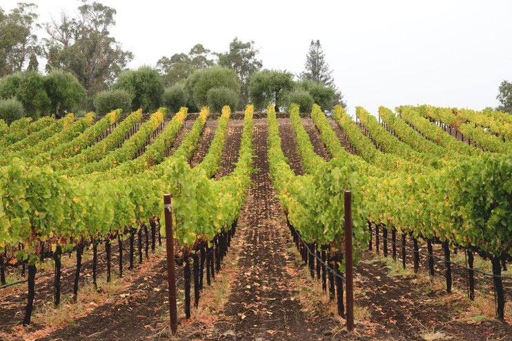 Rows of Vines