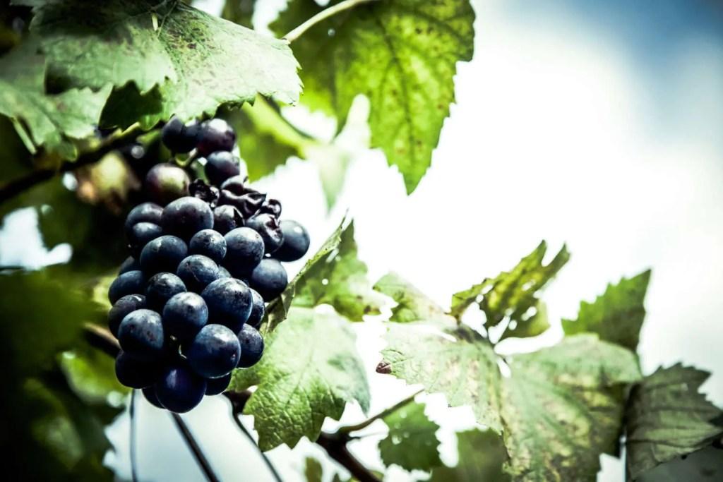 Curiosità sul vino Winekissyou; uva nera in primo piano