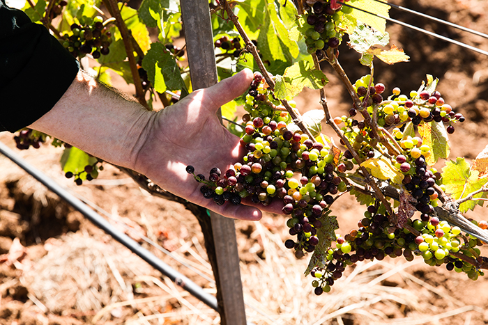 The grapes of Temperance Hill / Photo by Chris Low