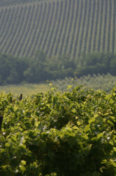 Agnes Fratelli 50 Great Sparkling Wines of the World