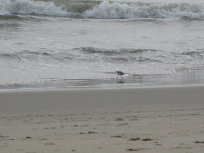 I love these little sandpipers...love them.  They were so fun to watch.