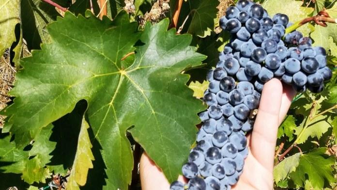 frappato vino rosso siciliano vitigno autoctono siciliano vittoria