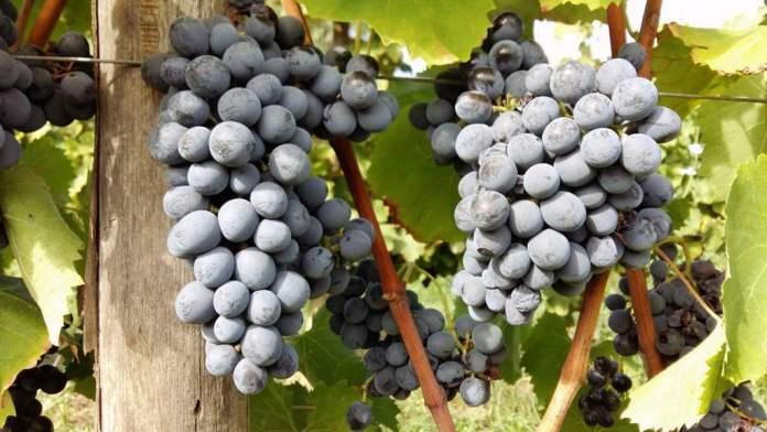 grappoli di Nocera vitigno autoctono sicilia