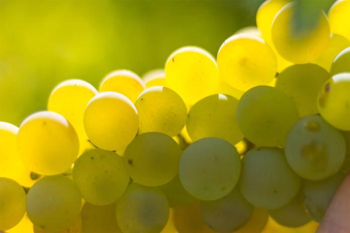 CARRICANTE vitigno Etna Bianco DOC in SICILIA