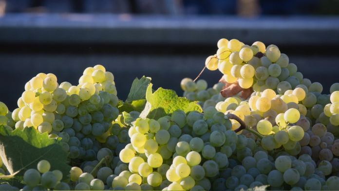 Catarratto vitigno antico siciliano